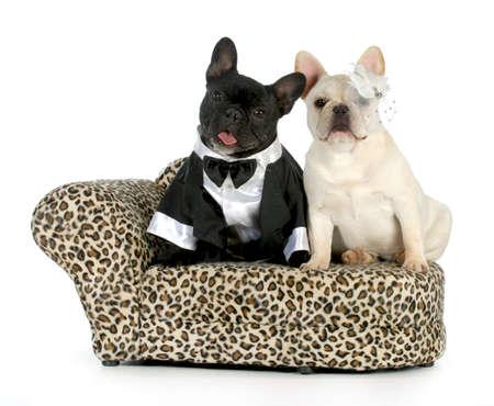 heiraten: Hund Paar - Französisch Bulldogs gekleidet wie ein Mann und eine Frau auf weißem Hintergrund Lizenzfreie Bilder