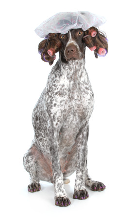 salon background: dog grooming - german shorthaired pointer at the beauty salon isolated on white background Stock Photo