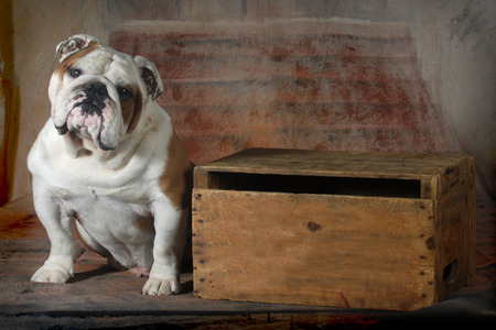 english bulldog sitting looking at viewer - 4 year old male photo