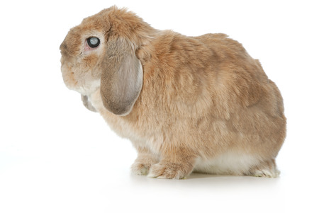 lop eared: senior rabbit with cataracts isolated on white background - lop eared