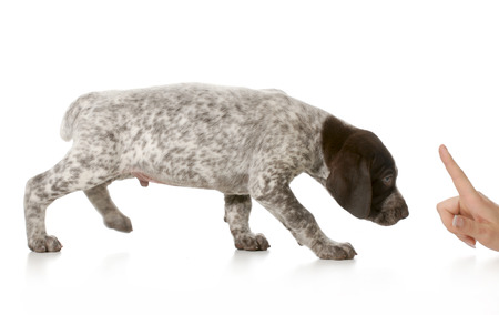 scolded: bad puppy - german shorthaired pointer being scolded isolated on white background