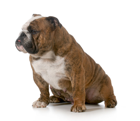 bulldog - brindle english bulldog female sitting isolated on white background photo
