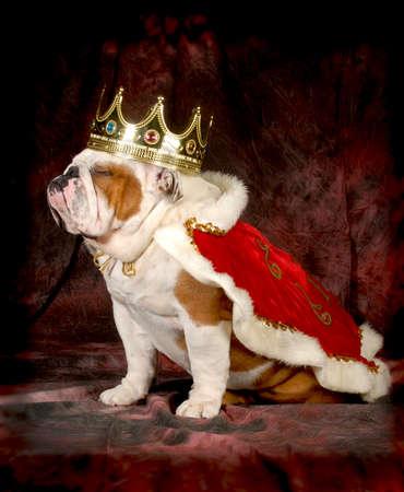 like english: spoiled dog - english bulldog dressed up like a king - 4 year old male