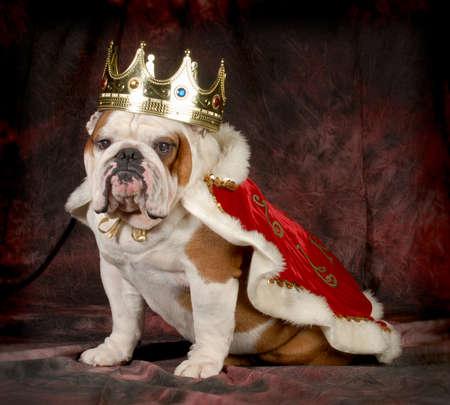 corona de rey: malcriado perro - Ingl�s bulldog vestido como un rey - 4 a�os de edad masculino Foto de archivo