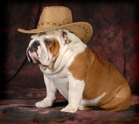 country dog - english bulldog wearing western hat - 4 years old photo