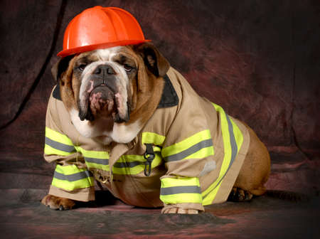 firehouse dog - english bulldog wearing firefighter costume  photo