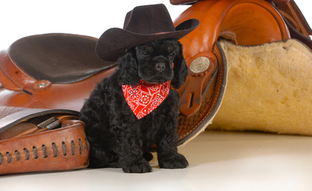 western saddle: country dog - american cocker spaniel puppy sitting beside a western saddle Stock Photo