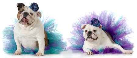 english girl: two female dogs wearing matching tutus isolated on white background - english bulldogs Stock Photo