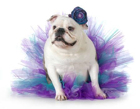 spoiled dog - english bulldog dressed up wearing a tutu isolated on white background photo