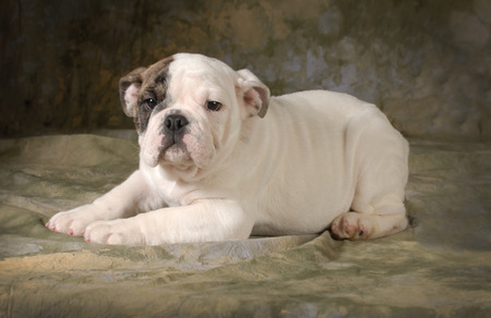 cute puppy - english bulldog puppy laying down looking at viewer - 12 weeks old photo