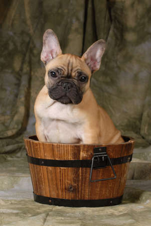 french bulldog puppy sitting in a wash basin on a green background photo