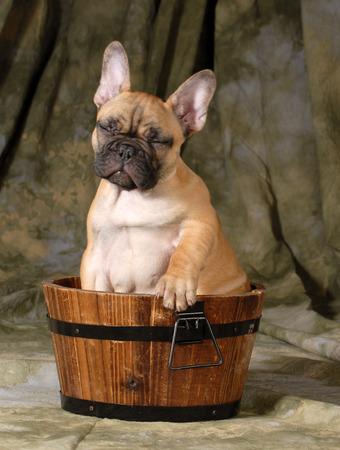 wash basin: cute puppy - french bulldog puppy sitting in a wash basin