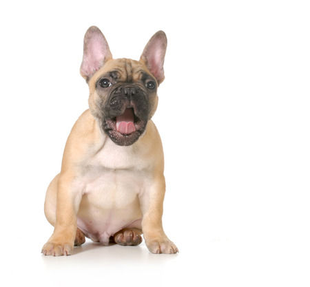 stocky: expressive puppy - french bulldog with surprised expression - 4 months old isolated on white background Stock Photo