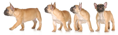 puppy barking and moving series - french bulldog  photo