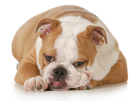 sprawled: cute puppy - english bulldog puppy laying down looking at viewer on white background - five month old female