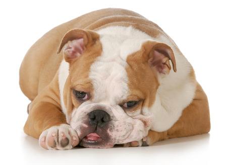sprawled: Cute Puppy - Ingl�s bulldog cachorro que se establecen mirando al espectador sobre fondo blanco - cinco meses de edad femenina