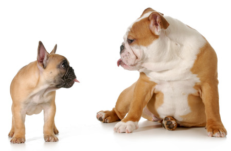 dog fight - french and english bulldog puppies sticking their tongues out at each other on white background