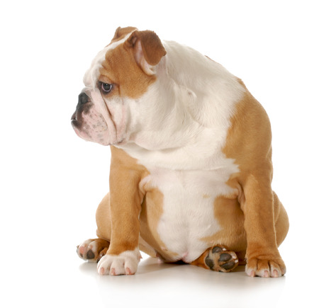 puppy sitting - english bulldog puppy sitting isolated on white background - 5 months old photo