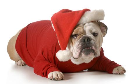 spoiled: dog santa - english bulldog wearing santa hat laying down isolated on white background - 2 year old male Stock Photo