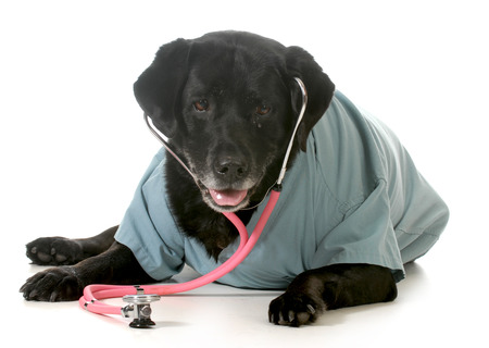 senior pet care - labrador retriever wearing stethoscope and lab coat isolated on white background photo