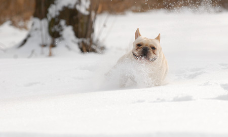 running nose: dog running in snow - french bulldog playing in fluffy snow - 2 year old male