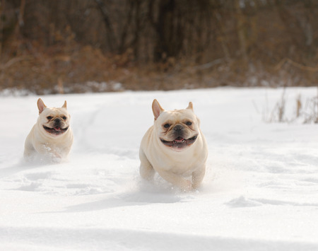 dogs in winter - two french bulldog running in the snow Stock Photo - 25076986