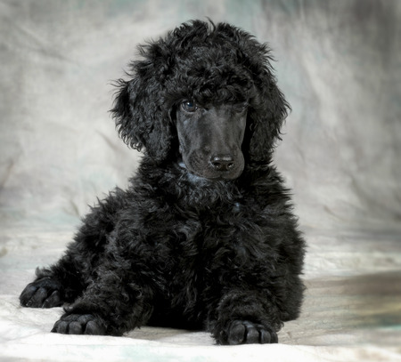 groomer: standard poodle puppy laying down - 8 weeks old
