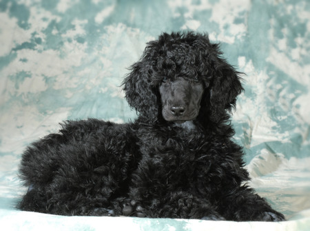conformation: standard poodle puppy laying down - 8 weeks old