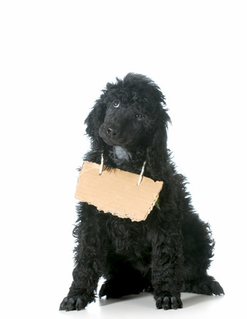 begging: dog communication - standard poodle puppy with cardboard sign around neck isolated on white background - 8 weeks old Stock Photo