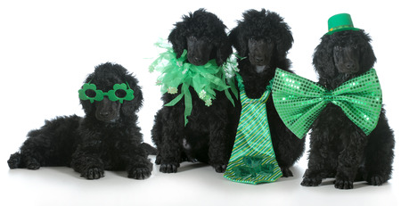four standard poodle puppies wearing St Patricks Day costumes - 8 weeks old Stock Photo