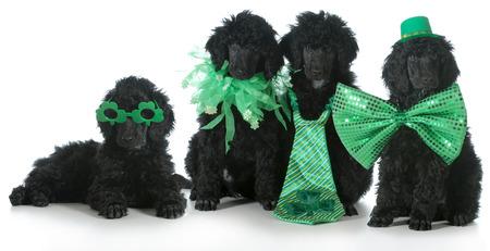 vier Standardpudelwelpen trägt St. Patricks Day Kostüme - 8 Wochen alt