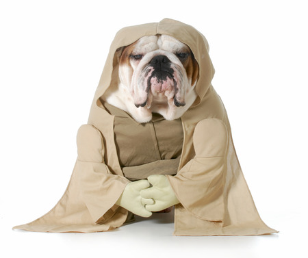 wise dog - english bulldog wearing munk costume isolated on white background