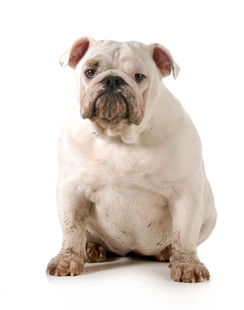 dirty dog - english bulldog looking at viewer isolated on white background photo