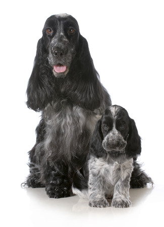 mother and puppy - english cocker spaniel mother and pup sitting looking at viewer