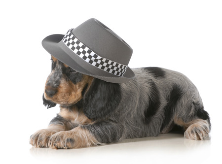cute puppy - english cocker spaniel puppy wearing hat isolated on white background - 7 weeks old photo