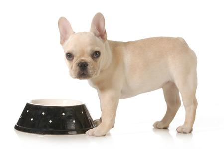 perro comiendo: comer perro - cachorro de bulldog francés comiendo de un recipiente aislado en fondo blanco