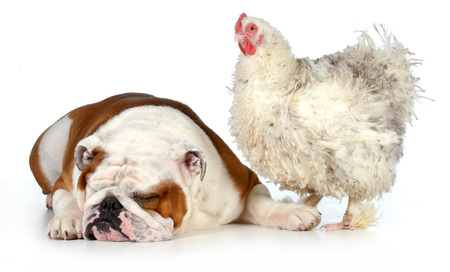 two animals - farm chicken and english bulldog together isolated on white background photo