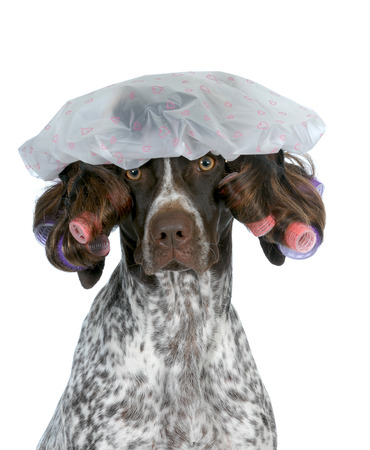 salon background: dog grooming - german shorthaired pointer wearing wig with curlers and shower cap isolated on white background