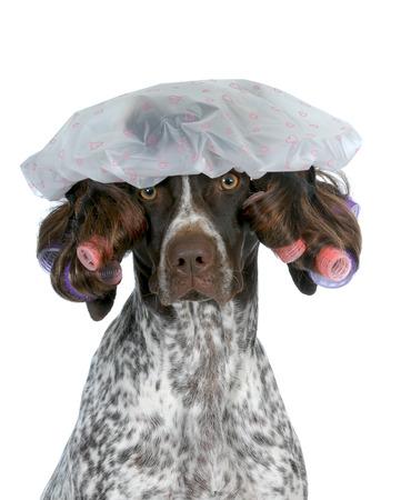 barbero: la preparación del perro - puntero de pelo corto alemán llevaba peluca con rulos y gorro de baño aislado en fondo blanco
