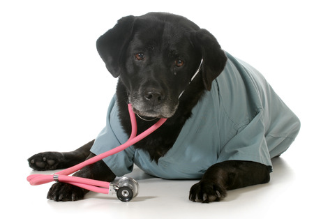 senior dog dressed up like a veterinarian isolated on white background photo