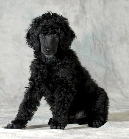 groomer: poodle puppy sitting looking at viewer on green background
