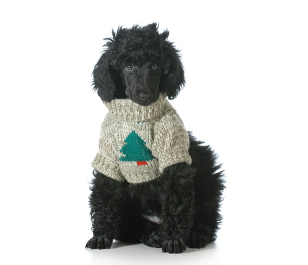 standard poodle puppy wearing silly christmas sweater isolated on white background photo