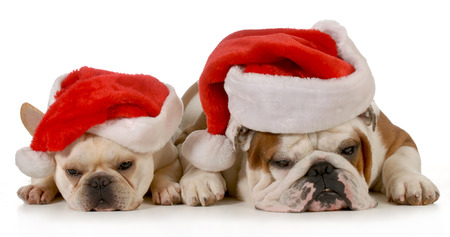 frenchie: french and english bulldog wearing santa hats isolated on white background