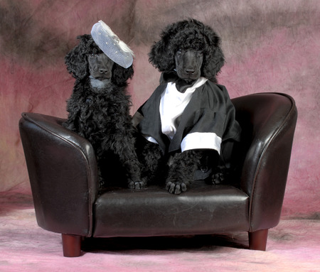 standard poodle bride and groom sitting on a couch on pink backdrop photo