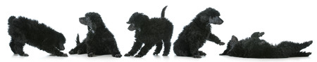 standard: five standard poodle puppies playing isolated on white background