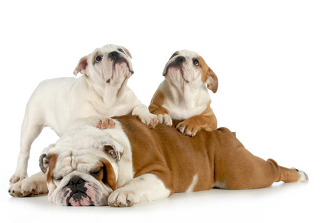 bulldog father laying down with puppies crawling photo