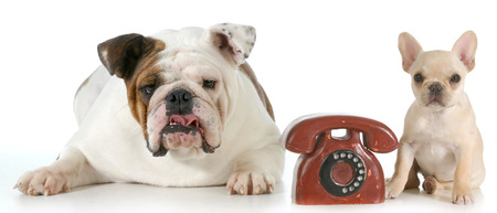 english and french bulldog with telephone between them isolated on white background photo