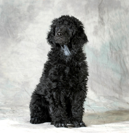 groomer: standard poodle puppy sitting on green background - 8 weeks old