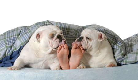 Hund im Bett - zwei Englisch Bulldogge lecken Zehen Kind isoliert auf weiß Standard-Bild