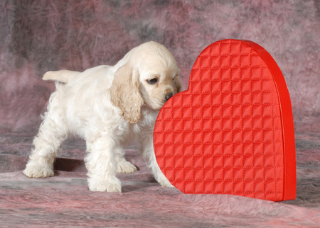 valentine puppy - cocker spaniel sniffing red heard on pink tone background - 9 weeks old photo